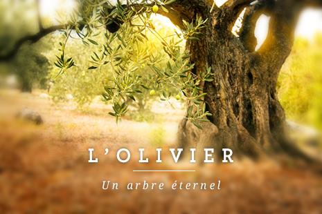 Photo d'un vieil olivier